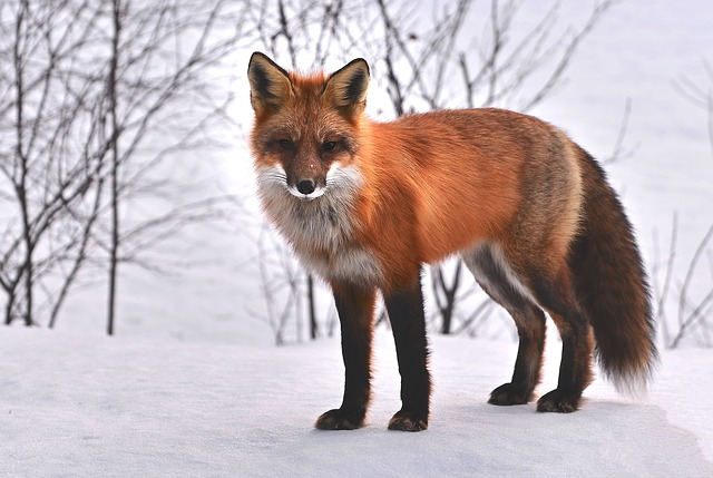 Animal of the week: Foxes