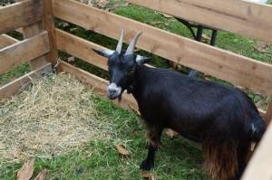 Boa the goat says Hi!