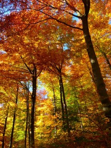 https://pixabay.com/en/forest-autumn-forest-colorful-trees-63275/