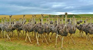 This is an Ostrich Community. Every Ostrich probably helps out. Picture from https://pixabay.com/en/ostriches-birds-bouquet-ostrich-838976/