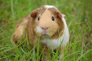 https://pixabay.com/en/guinea-pig-cavy-pet-guinea-rodent-242520/