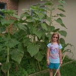 The sunflowers are getting very tall.