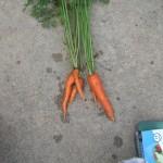 8-5-15 carrots