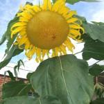 8-5-15 pretty flower