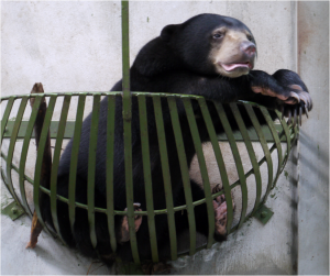 Manis the Sun Bear at BSBCC.