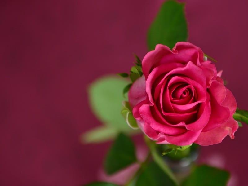 5 Tips Merawat Bunga Mawar Yang Baik Dan Benar Blog Praktis