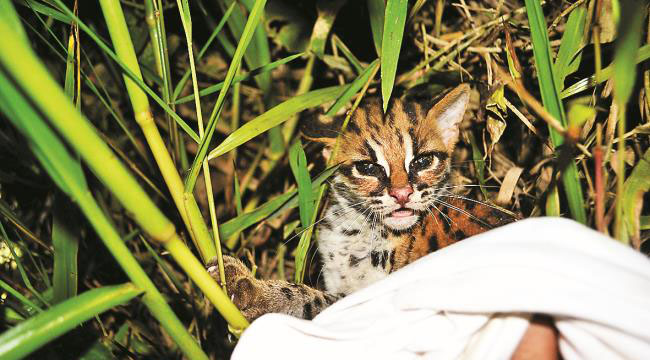 A leopard cat rescued by Universiti Brunei Darussalam wildlife club, 1stopbrunei Wildlife. Photo: M Shavez Cheema.