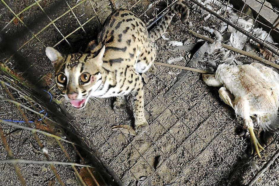 Leopard cat caught by Mohd Izham Hussin in Peninsular Malaysia. Photo: The Star.