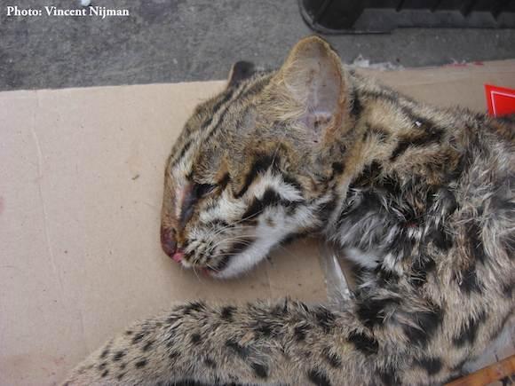 Dead leopard cat sold at the market of Mong La. Photo by Vincent Nijman