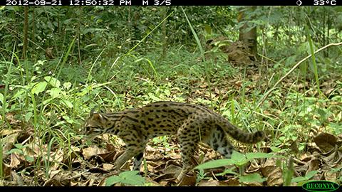Leopard cat on RL