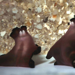 The flatworms have two white and pointed penises (Nelson, 2010). Image source: Ever So Strange