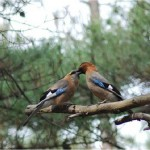 Eurasian Jays and the 6th Language of Love
