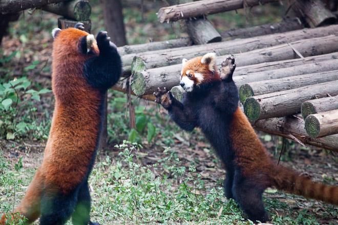 The Original MMA Champion: Red Pandas!