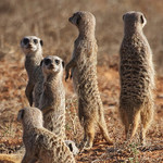 "The ""Sentry"" Meerkats"