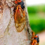 """Noisy cicadas can call big catfish to the top,"" by Kevin Tate. Northeast Mississippi Daily Journal. URL: http://djournal.com/view/full_story/13351759/article-Noisy-cicadas-can-call-big-catfish-to-the-top?instance=home_news_right (accessed on 5 April 2013)"