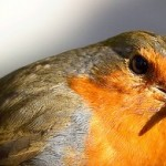 The European Robin are commonly found across Europe. They migrate during the winter to the edge of Northern Africa and Middle East