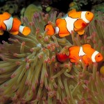 Clownfish Queue To Have Sex