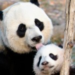 Taken from: http://www.guardian.co.uk/environment/2012/sep/23/giant-panda-cub-dead-zoo