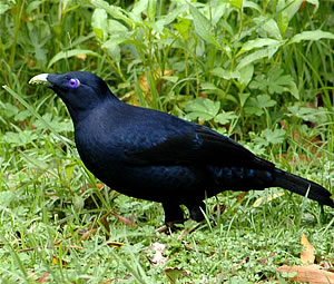 Satin bowerbirds: the obsessive-compulsive bachelors of the