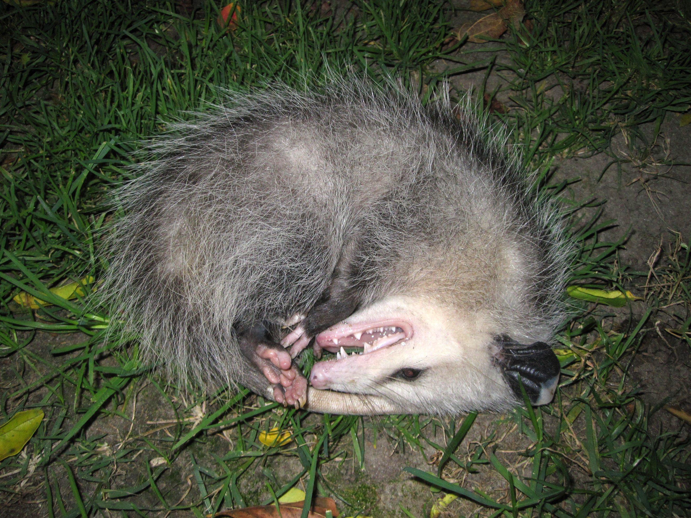 """I'm not dead!"" Opossum plays possum."
