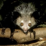 Sharp claws of the Aye-Ayes help them to cling on to their treetop homes