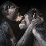 Bonobos: Female Dominance in a Bi-sexual Primate Society
