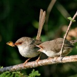Knock Knock, Who's There? - Identification of fairy-wren chicks by their mums
