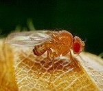 The common fruit flies (Drosophila melanogaster)