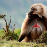 A male gelada, found only in mountain meadows of Ethiopia.