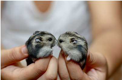 winter white hamsters showin some lovin