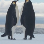 "How Emperor Penguins ""Flirt"" Before Having Sex"