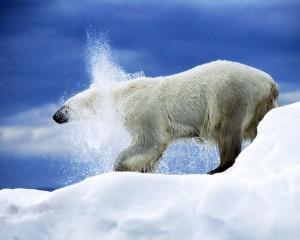 Snow Animals Polar Bears