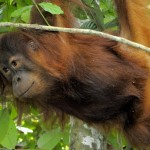 For an Orangutan, does age matter?