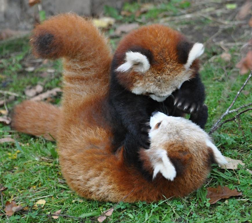 Red Panda {For Daniel} on Pinterest | Red Pandas ...
