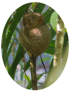 tarsier-oval