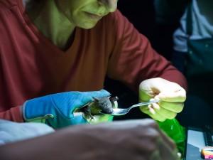 Feeding the bat sugar water