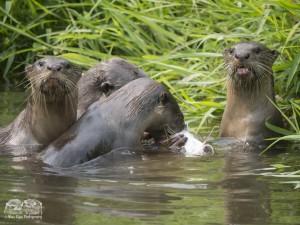 Smooth-coated otters in Bishan-AMK Park feeding on a catfish. Photo credits: Max Khoo