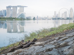 Smooth-coated otters in Marina Reservoir are able to access the adjacent land area by climbing up the sloping seawall. Photo credits: Max Khoo
