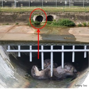 Near Bishan-AMK Park. The smooth-coated otters live in a canal. Photo credits: Jeffery Teo