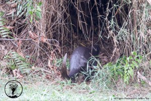 A smooth-coated otter seen entering a natural holt in Ulu Pandan. Photo credits: Jeffery Teo