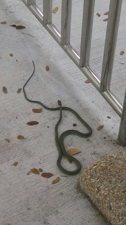 Paradise Tree Snake A Successful Reptile In Urban Area Urban