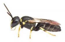 Hylaeus sp. (photographed by Zestin Soh, in (Soh & Ngiam, 2013))
