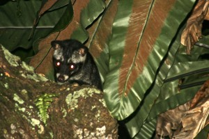 Common palm civet seen at night