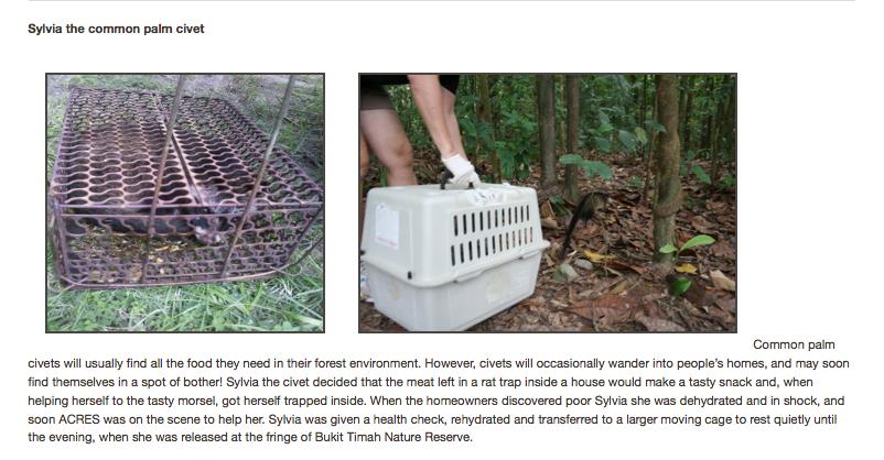 ACRES - Rescued civet