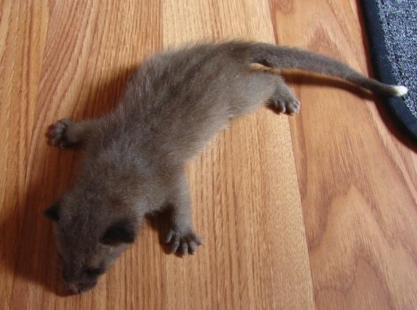 Civet Cat 1
