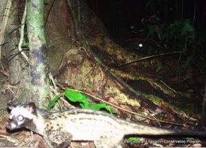 IMAG0019 Common Palm Civet cropped