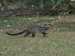 civet in daylight (small size)