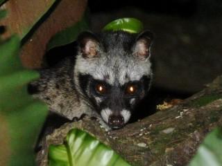 Seen a Civet?
