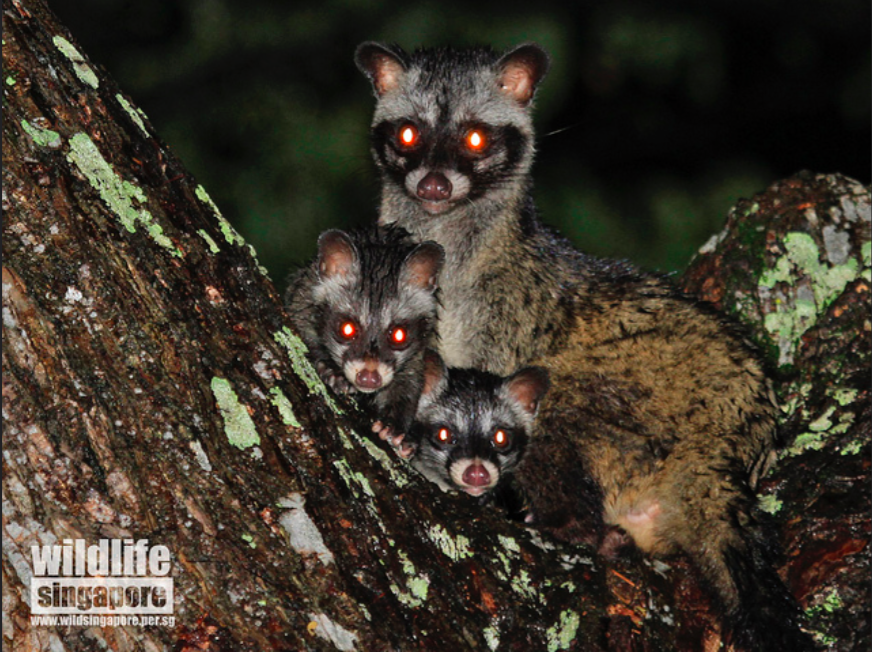 Mummy civet with her 2 babies. Photograph taken by Chan Kwok Wai.