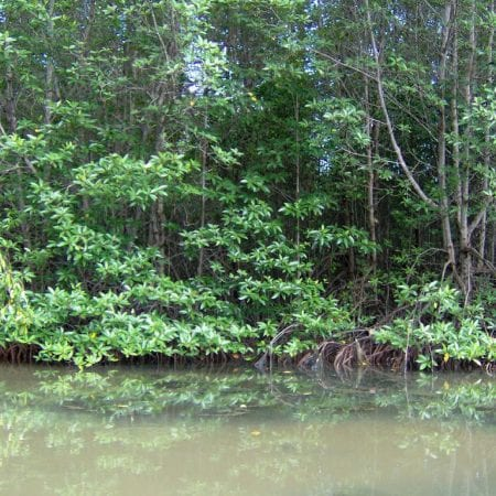 Mangrove in Can Gio forest